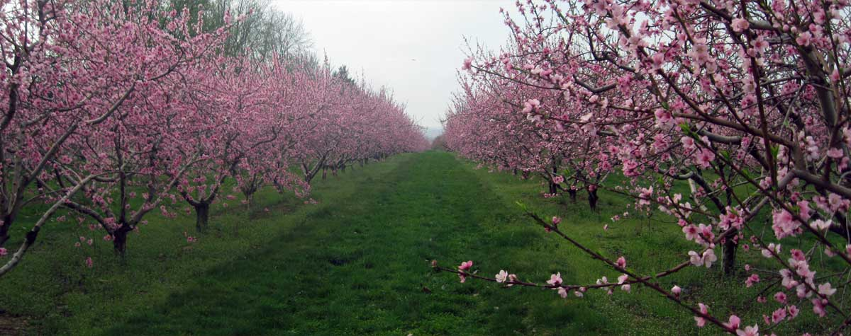 Bauman Orchards - Peach Blossoms