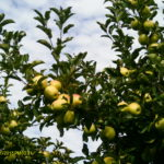 Bauman Orchards - Pick Your Own Apples